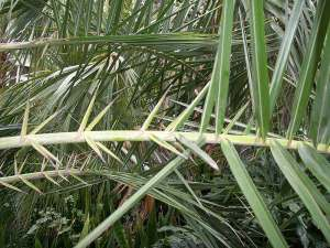 canary palm spikes